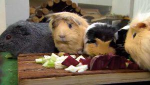 Vier Meerschweinchen sitzen vor einem Schneidebrett aus Holz, auf dem geschnittenes Gemüse liegt.